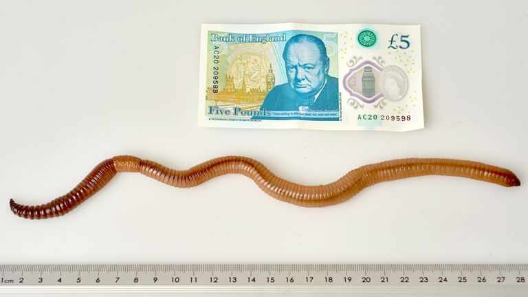 Dave the earthworm, who has has wriggled his way into the record books