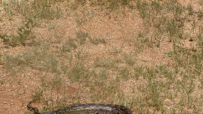 The boys were killed by an African rock python. Pic: File