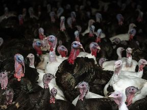 The H5N8 strain has been detected at the farm. File pic