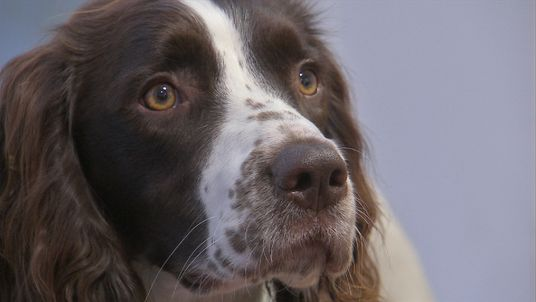 Working spaniels are particularly good at sniffing