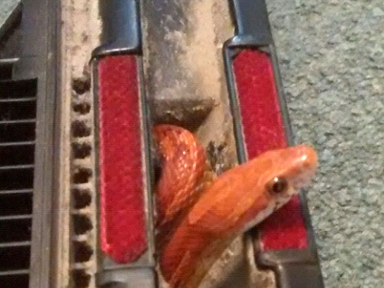 The RSPCA found this snake trapped in a vacuum cleaner in York