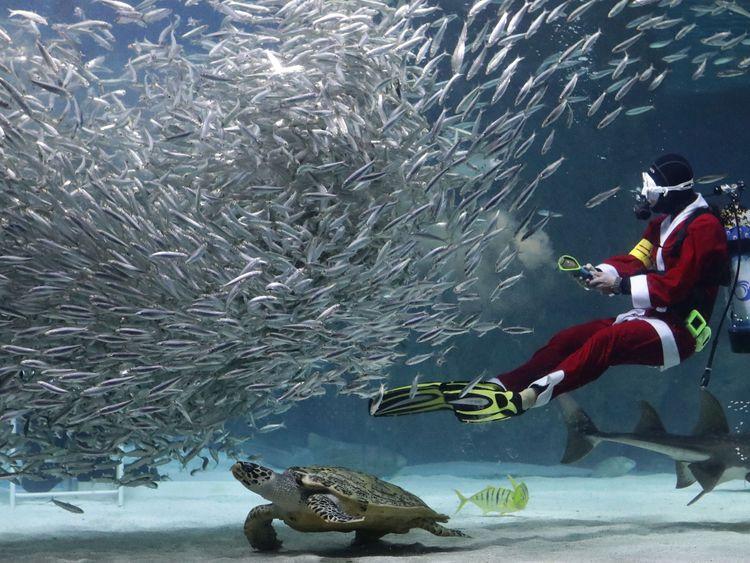 A diving Santa feeds sardines at an aquarium in Seoul, South Korea