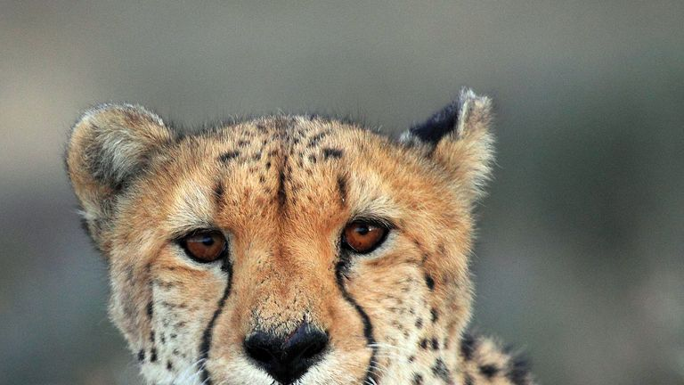 A cheetah is pictured on March 22, 2013 at the private game reserve of French Damien Vergnaud in Inverdoom, 200 kms north east of Cape Town. Vergnaud runs a breeding programme for cheetahs. At the beginning of the XXth century, an estimated 100.000 cheetahs were roaming freely in Africa and Asia to decrease to about 10.000 in the wild today