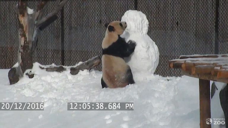 The panda squares up to the snowman