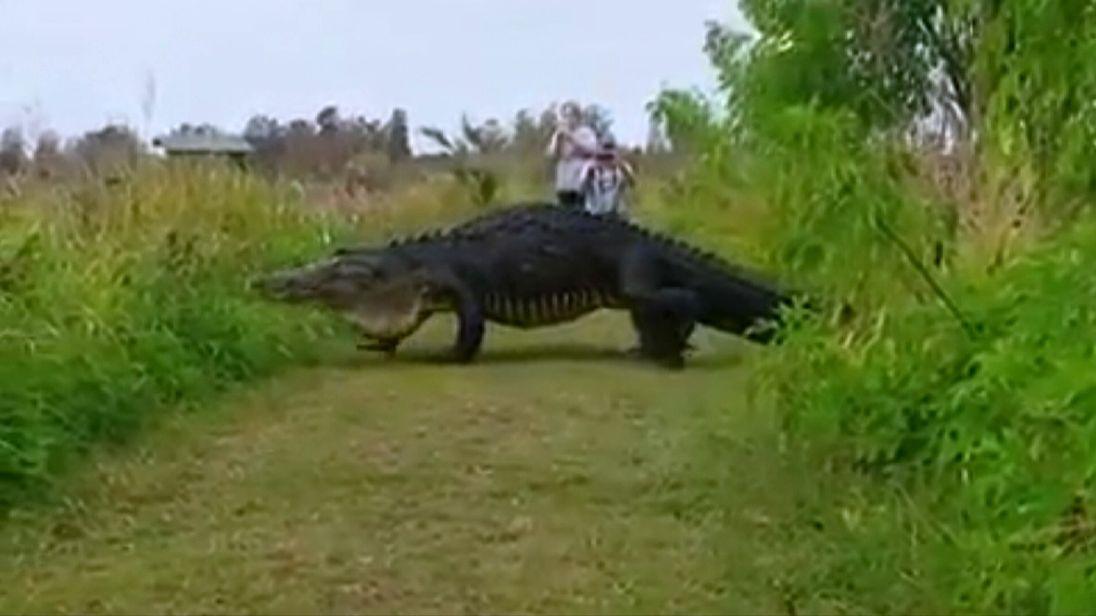 Huge alligator crosses path of nature reserve visitors in Florida