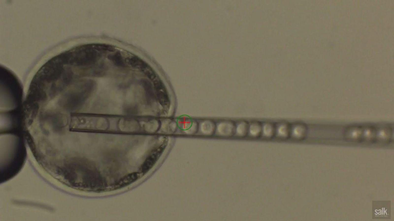 Human Pig Chimera Embryo Grown In Lab