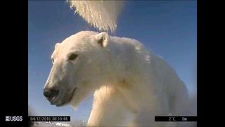 The head cam will help scientists to study polar bear behaviour