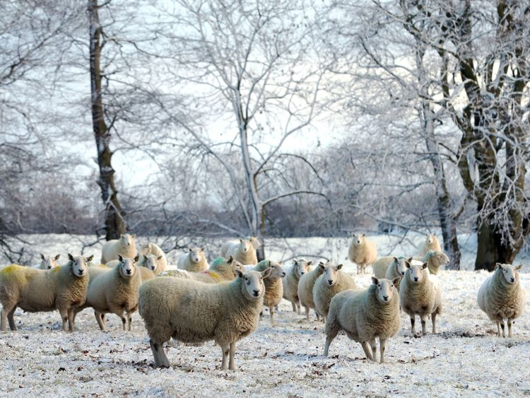 Sheep in the snow in Ballymena, Co Antrim