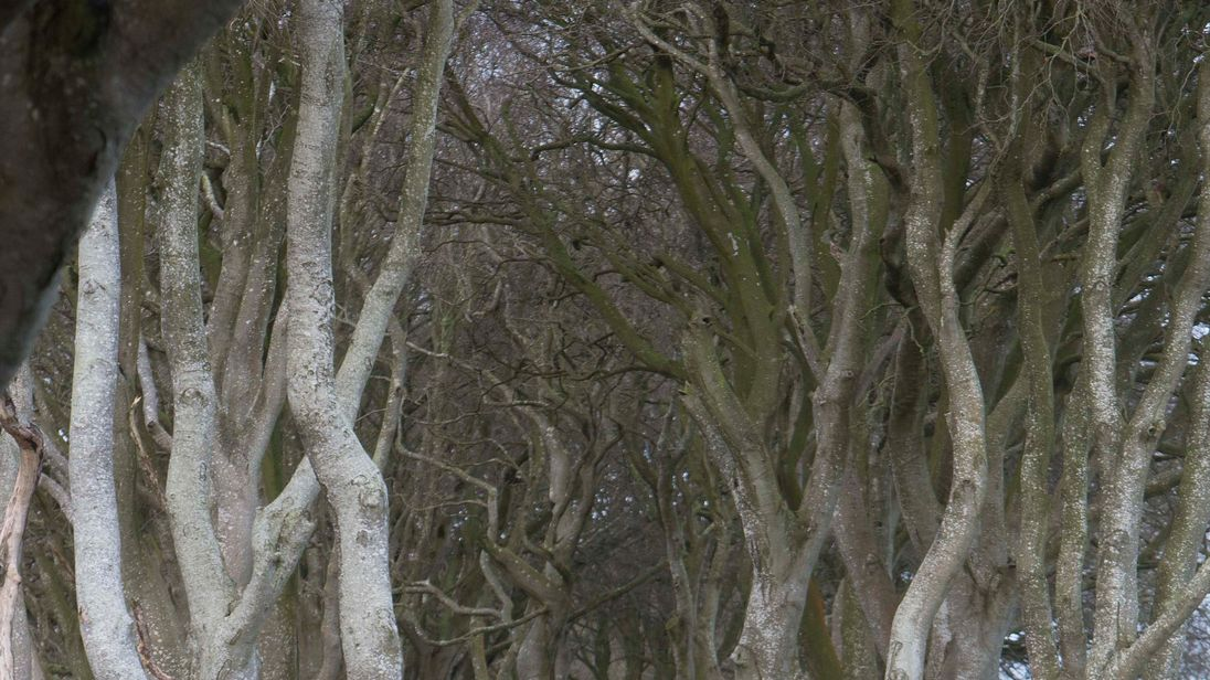 One of the beech trees that make up the spectacular Dark Hedges made famous by fantasy drama Game Of Thrones