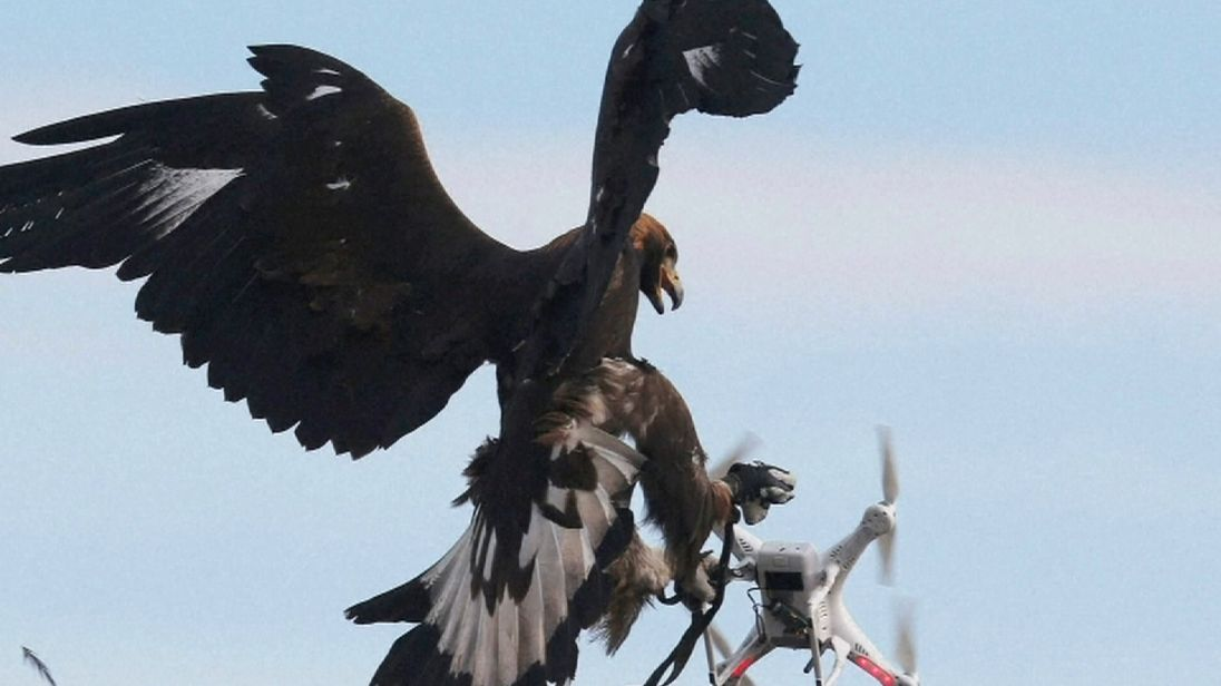 Eagles are being conditioned to catch drones by the French military