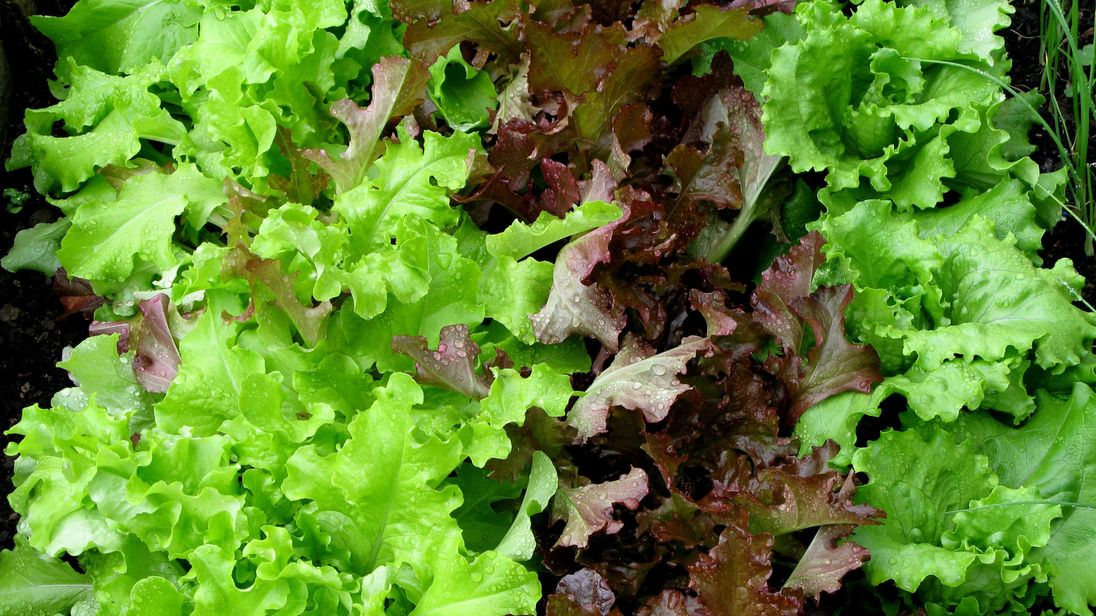 Some varieties of lettuce are sold out in stores and out of stock online