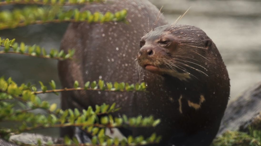 Rare giant otter comes to UK in effort to bolster numbers of this endangered species