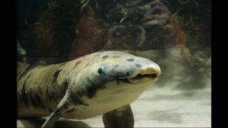 Lungfish Granddad, the world's oldest fish. Pic: Shedd Aquarium/Brenna Hernandez