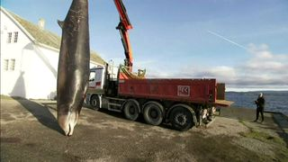 The whale had become repeatedly stranded