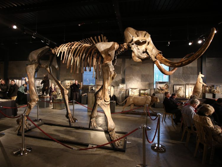 A woolly mammoth skeleton is displayed at Summers Place Auctions on November 26, 2014 in Billingshurst, England