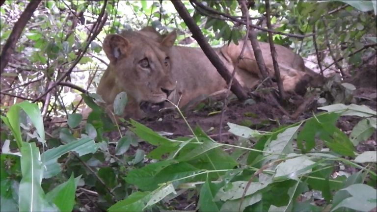 The lion was not properly unconscious despite the first dart hitting its body. Pic: Aware Trust Zimbabwe