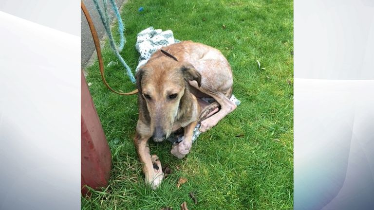 The lurcher is now being cared for by the RSPCA and has been named Ella