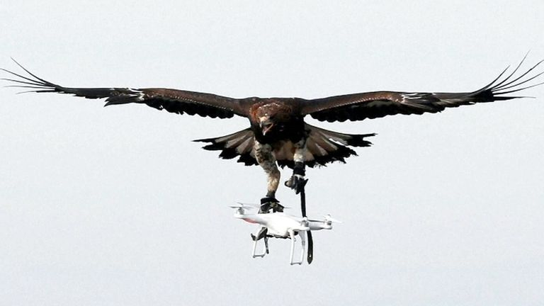 Where Eagles Dare French Military Trains Birds To Catch Drones World News Sky News
