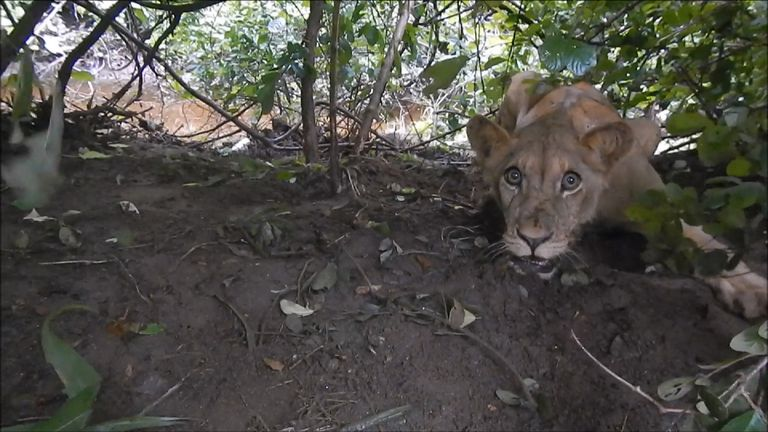 The young lion had been heard growling since the previous night. Pic: Aware Trust Zimbabwe