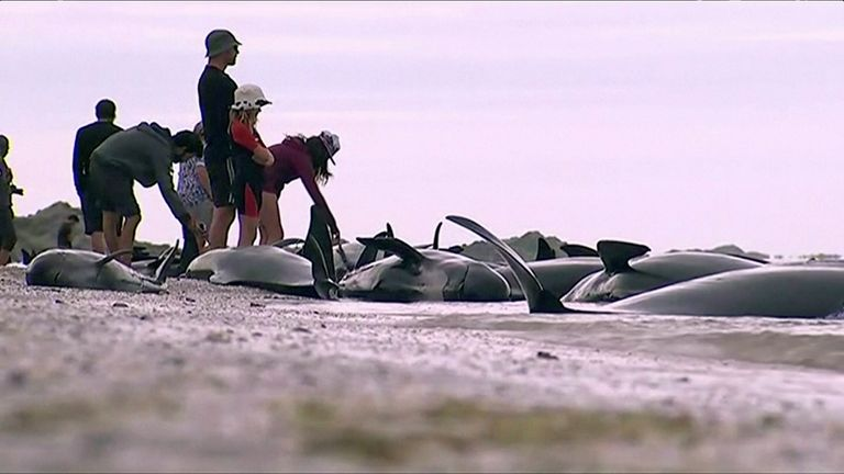 Stranded pilot whales in New Zealand
