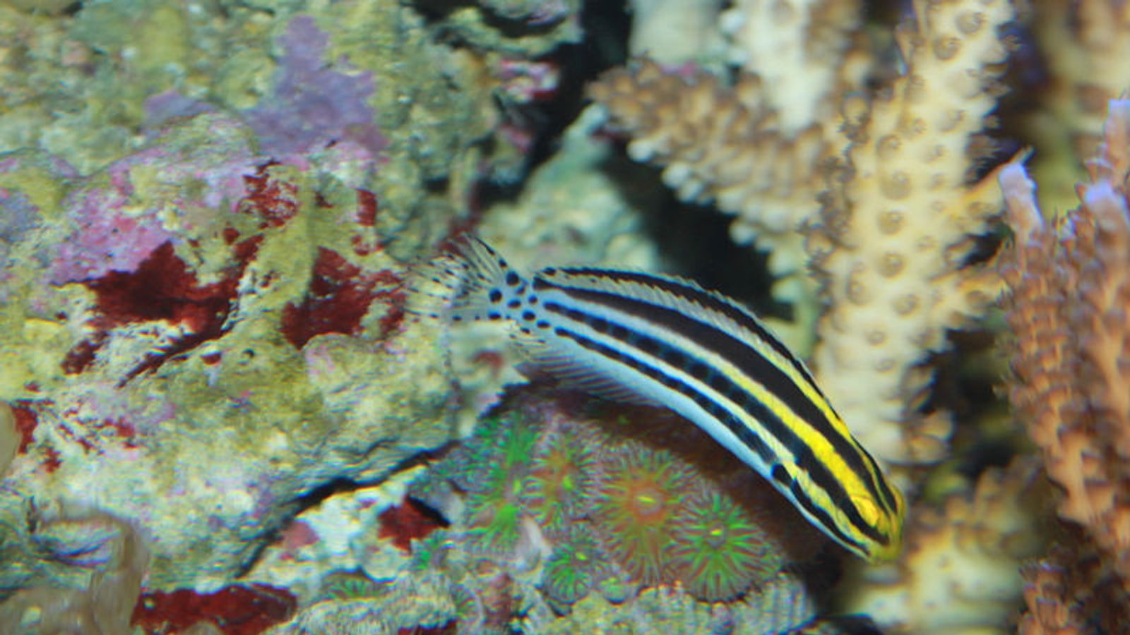 venomous fang blenny fish could hold key to painkillers