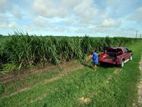 Sugercane farmer Eddie Fabbro inspects his crop outside the Queensland town of Ayr
