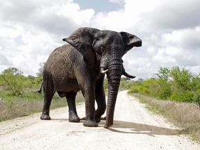 An elephant attempts to intimidate visitors in the Kruger National Park