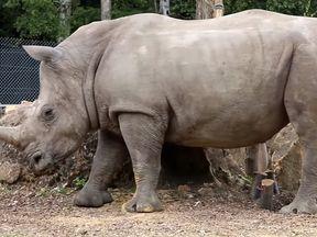 Vince, the white rhino at Thoiry Zoo. Pic: thoiry.net