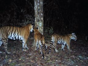 Six cubs were spotted among the group
