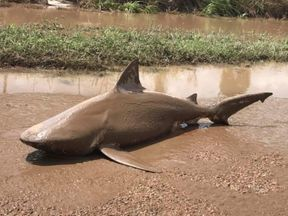 Bull shark washed up up in Ayr. Pic: @QLD FES