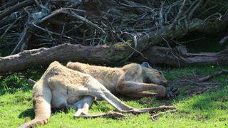 An emaciated kangaroo at South Lakes Safari Zoo. Pic: Captive Animals