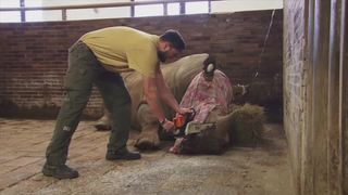 A rhino's horn is cut off at a zoo in the Czech Republic