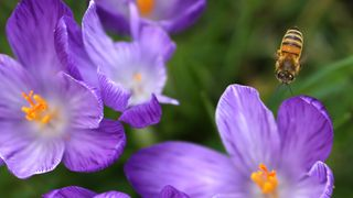 A bee pollinates crocuses in St James's Park in London