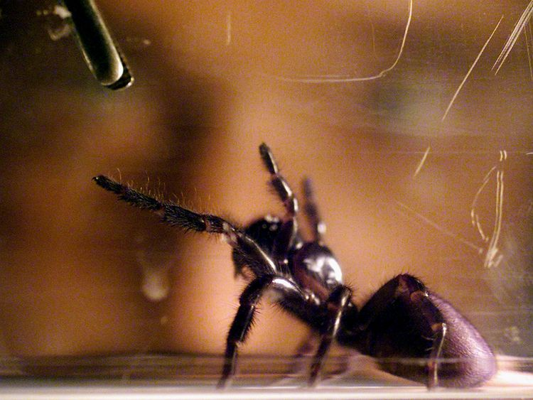 The spiders were 'milked' using a pipette