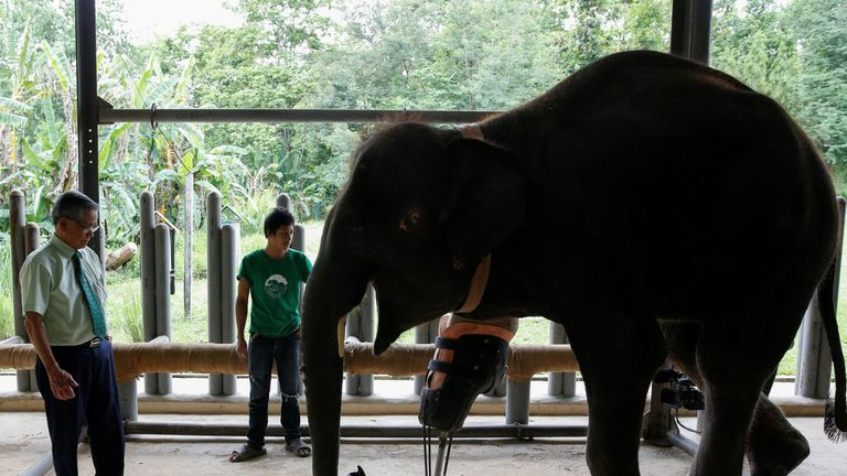Doctor Therdchai Jivacate (L) stands in front of Mosha, the elephant that was injured by a landmine, at the Friends of the Asian Elephant Foundation in Lampang, Thailand