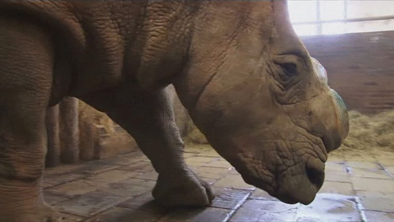 A rhino at a zoo in the Czech Republic after having its horn cut off