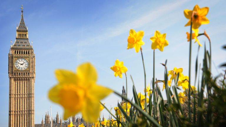 Daffodils are seen in bloom outside the Houses of Parliament