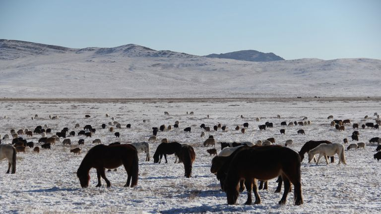 Animals search for pasture among the snow in Arkhangai province