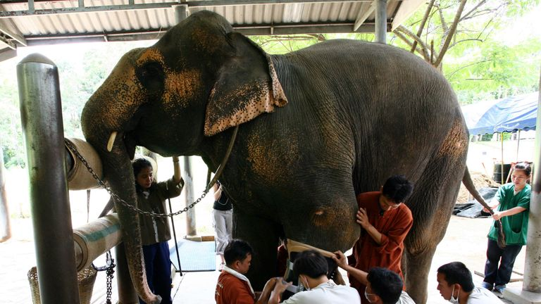 Thai veterinarians attach a prosthetic leg on a 48-year-old female elephant named Motala at the Elephant Hospital in Lampang province