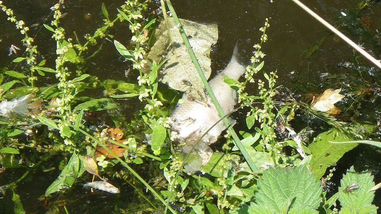 Dead fish in the Fawley Court Ditch downstream of Henley Sewage Treatment Works.