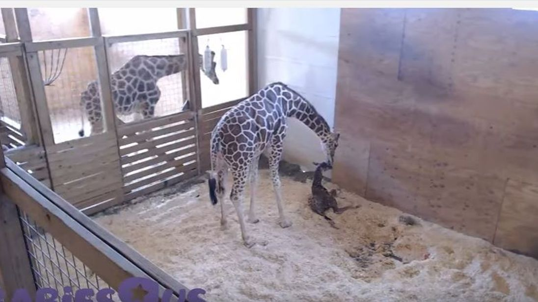 April the giraffe has given birth at a New York zoo with more than a million people around the world watching live. Dad Oliver looks on. Pic Animal Adventure Park Giraffe Cam