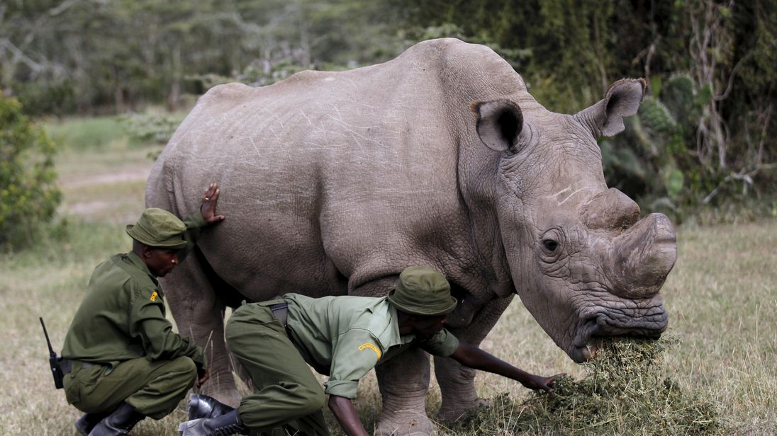 Wardens assist the last surviving male northern white rhino named 'Sudan' as it grazes at the Ol Pejeta Conservancy in Laikipia national park, Kenya June 14, 2015