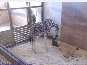 April the giraffe has given birth at a New York zoo, with more than a million people around the world watching live. Dad Oliver looks on. Pic: Animal Adventure Park Giraffe Cam