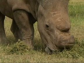 The last surviving northern white rhino, called Sudan