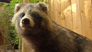 Raccoon dogs were introduced from Asia to the western Soviet Union and are now culled to control their numbers