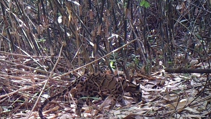 A clouded leopard in the hill forests of Northern Karen State