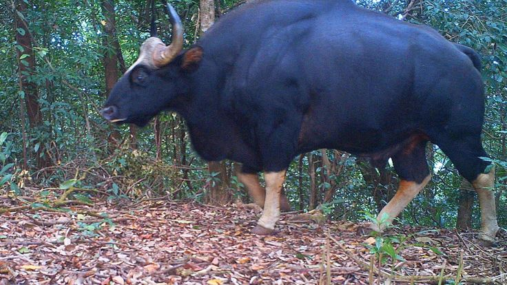 A gaur in the hill forests of Northern Karen State