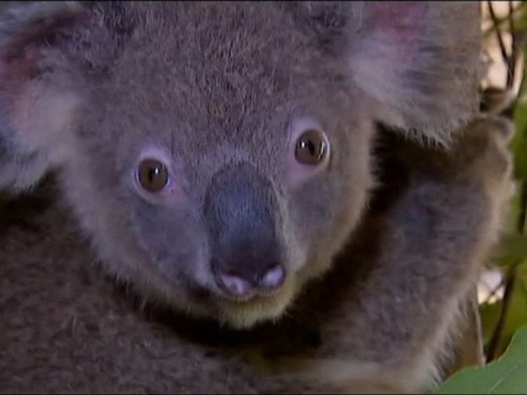 Ancient viruses protect koalas from new attacks