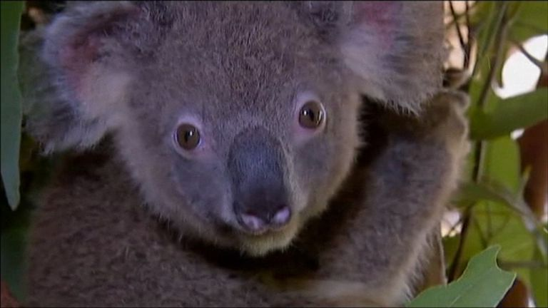 The baby koalas were being treated at a care home near Brisbane