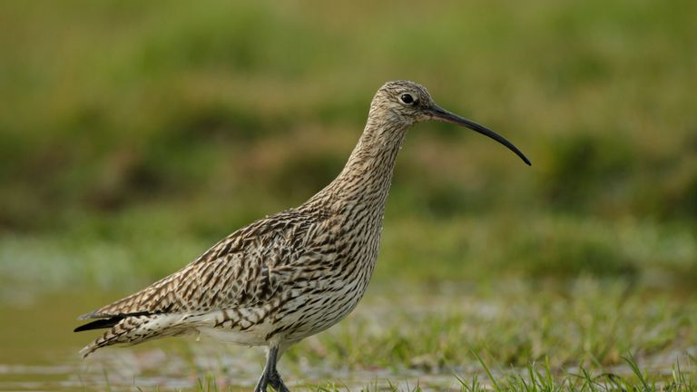 The plight of the curlew is of particular concern to conservationists
